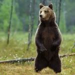 papa bear large savings