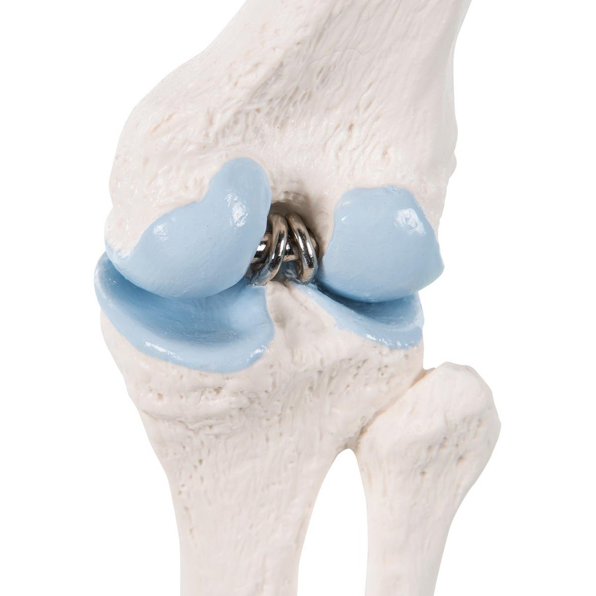 3b Scientific A85 1 Mini Knee Joint With Cross Section Model