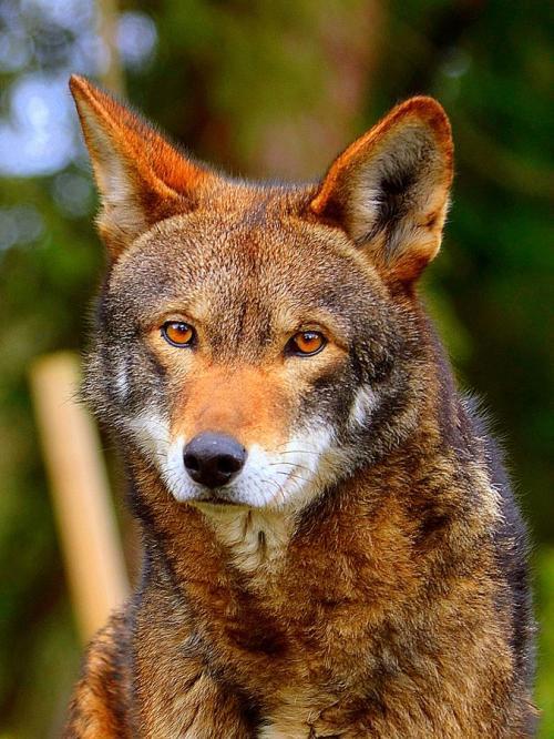 معلومات عن الذئب الاحمر