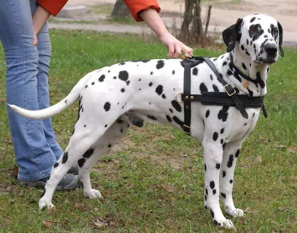 Image result for الكلب الدلماسي