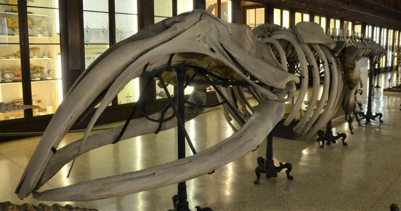 The Taranto whale (Eubalaena glacialis) from the Zoological Museum of Naples