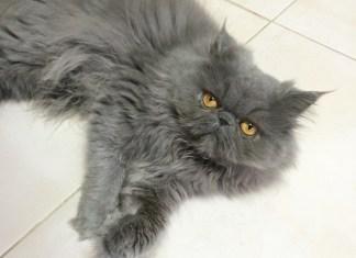 Gatos Persas como os identificar