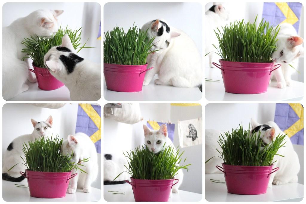 Se tem um gato indoor ou que frequenta o exterior uma coisa é certa: o seu gato provavelmente mordiscou relva em alguma ocasião.