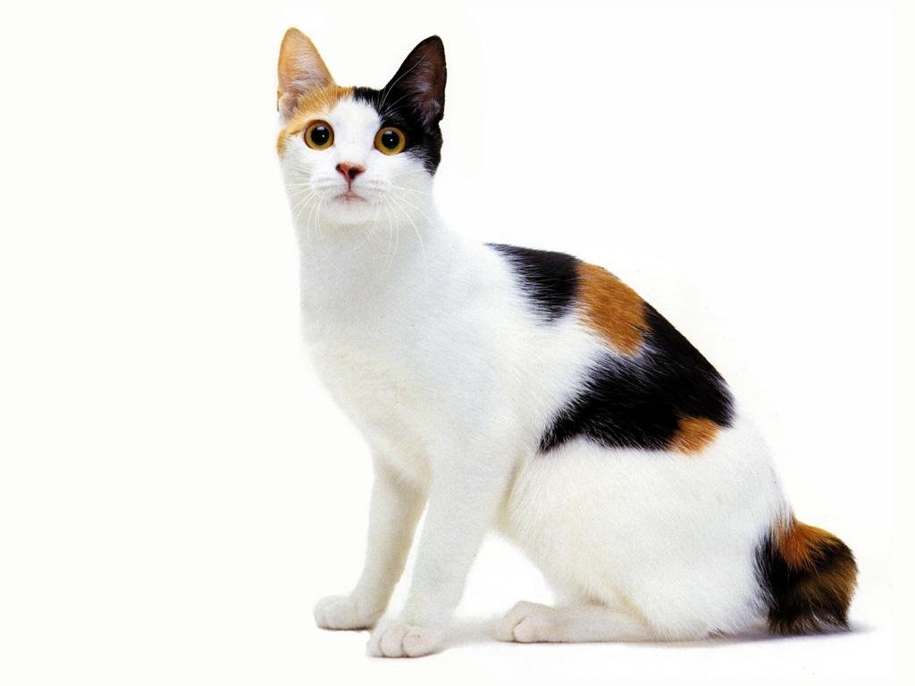 Bobtail Japonês Gato