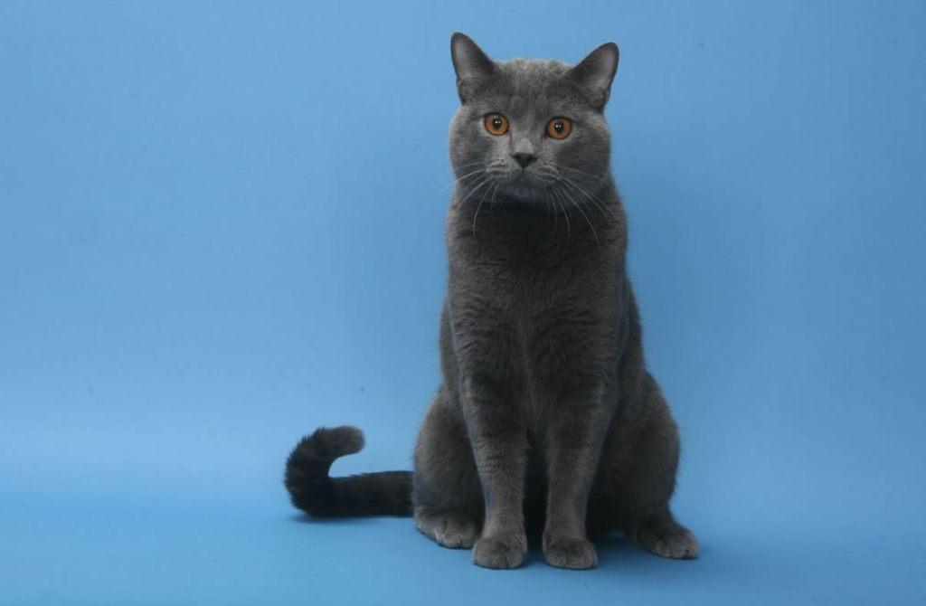 Chartreux Gato