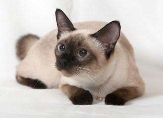 Gato siames uma raça extremamente popular