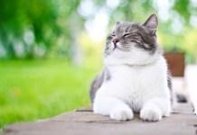 Como controlar o peso do meu gato gordo?