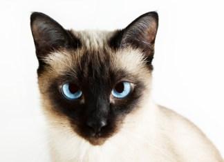 É normal os gatos siameses terem olhos cruzados