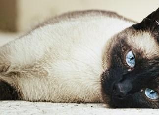 Gatos Siamêses - Faladores orientais