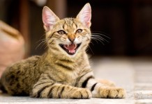 gato castrado/esterilizado
