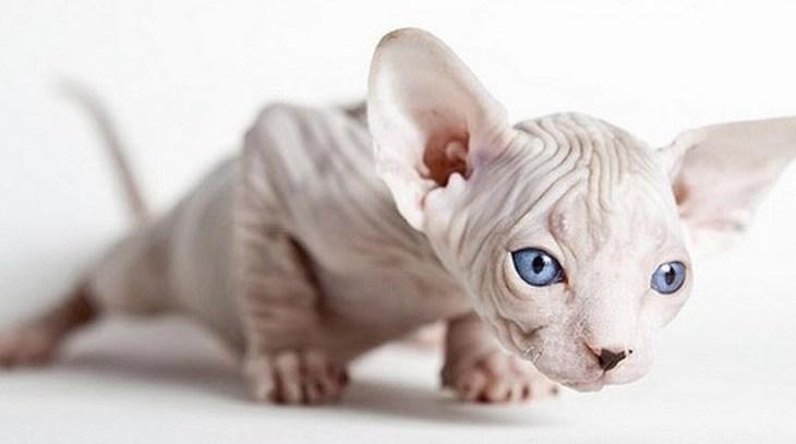 Grandes dicas para cuidar do Gato Sphynx - Universo de