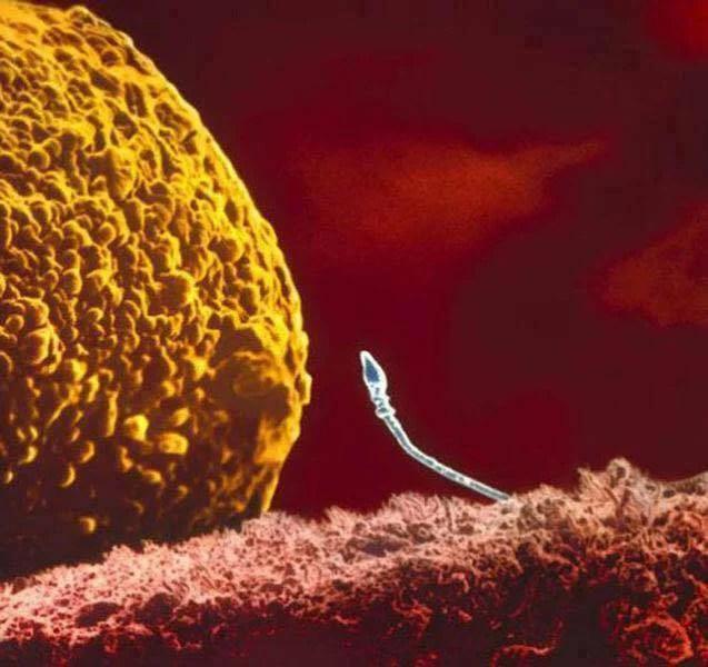 uovo e spermatozoo