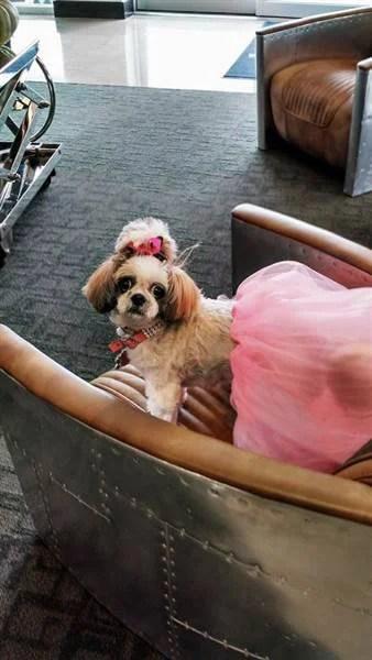cane fiocco