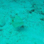 Bluespotted Stingray - Mantaraya - Buceo - Similian Islands - Tailandia