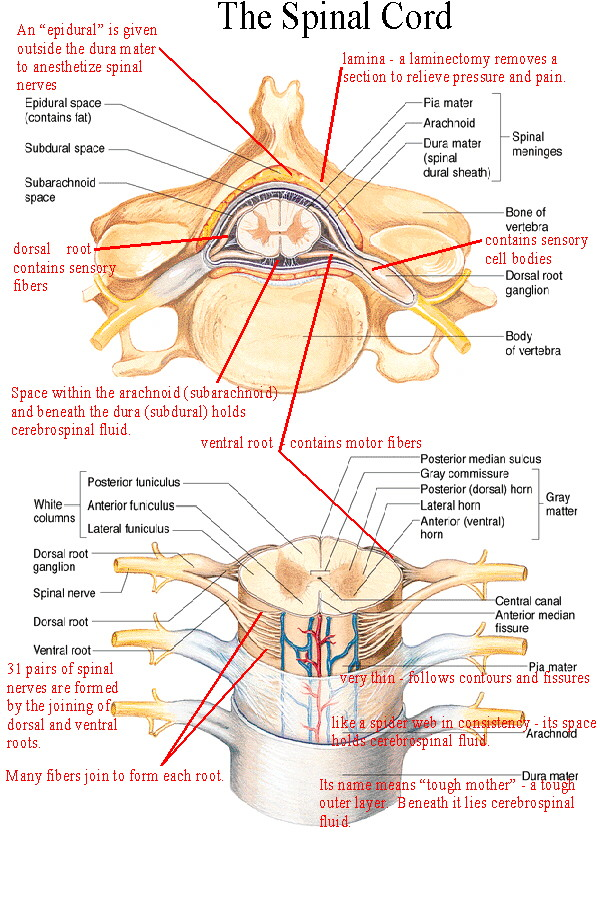 lumbar nerve root diagram 240 volt ist wieviel watt biol 237 class notes the spinal cord and nerves structures of