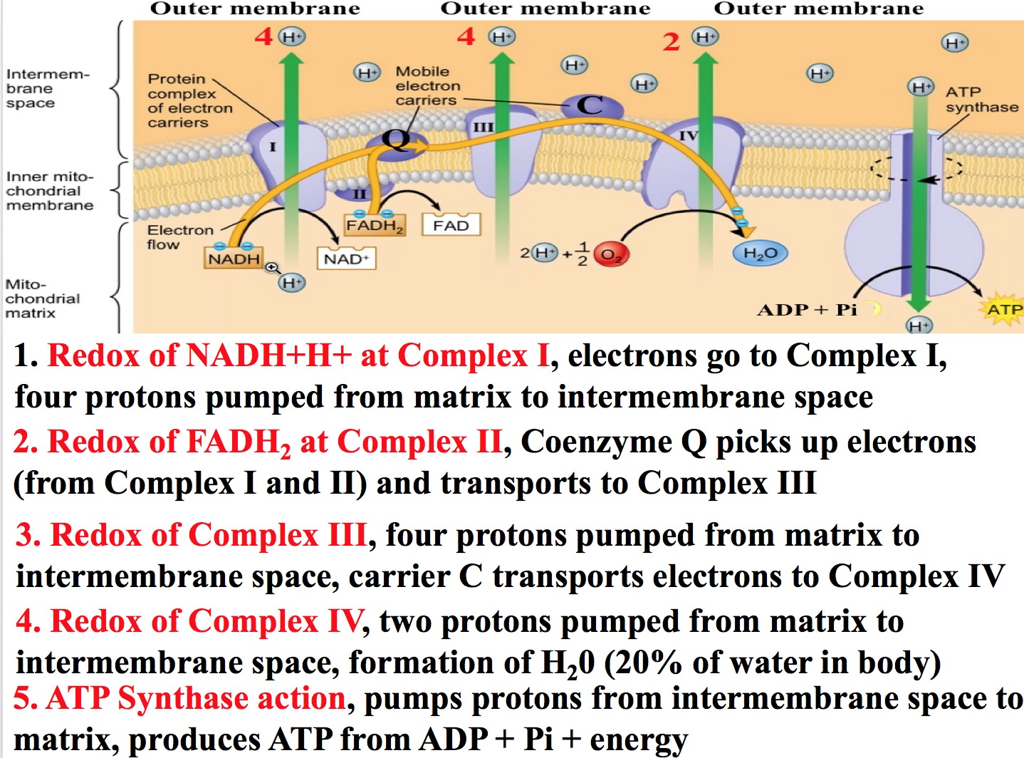 How Many Atp Produced From Electron Transport Chain