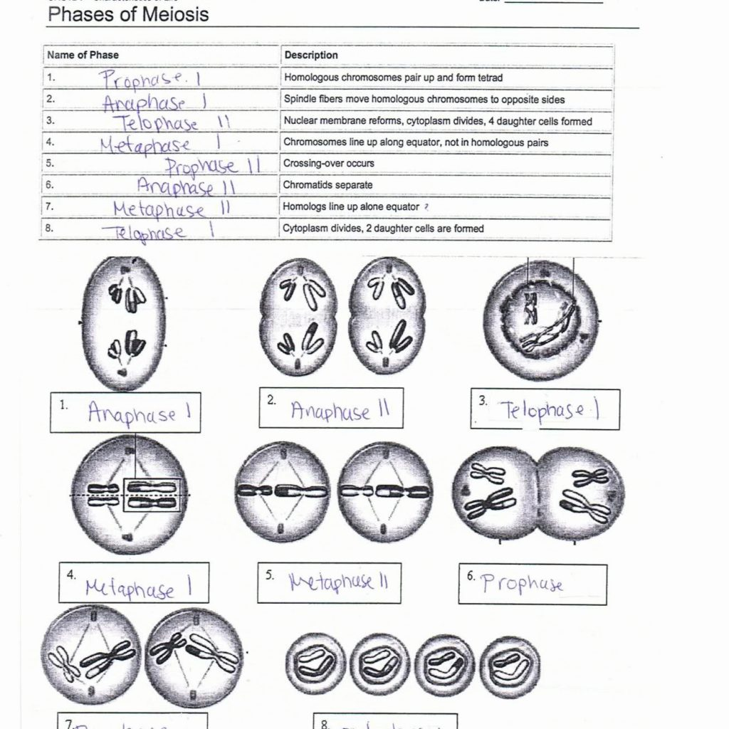 Phases Of Meiosis Worksheet Answer Key Worksheets Samples