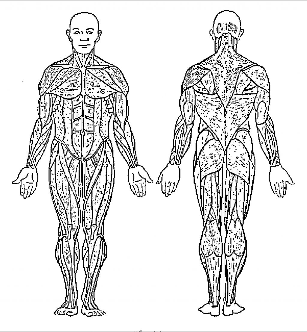 Muscles Coloring Worksheets