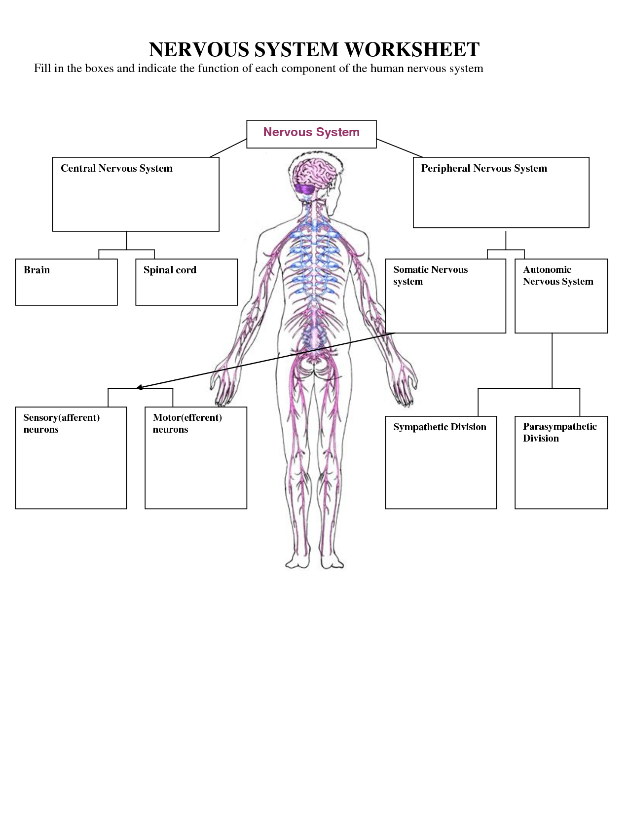 Nervous System Worksheets For Kids