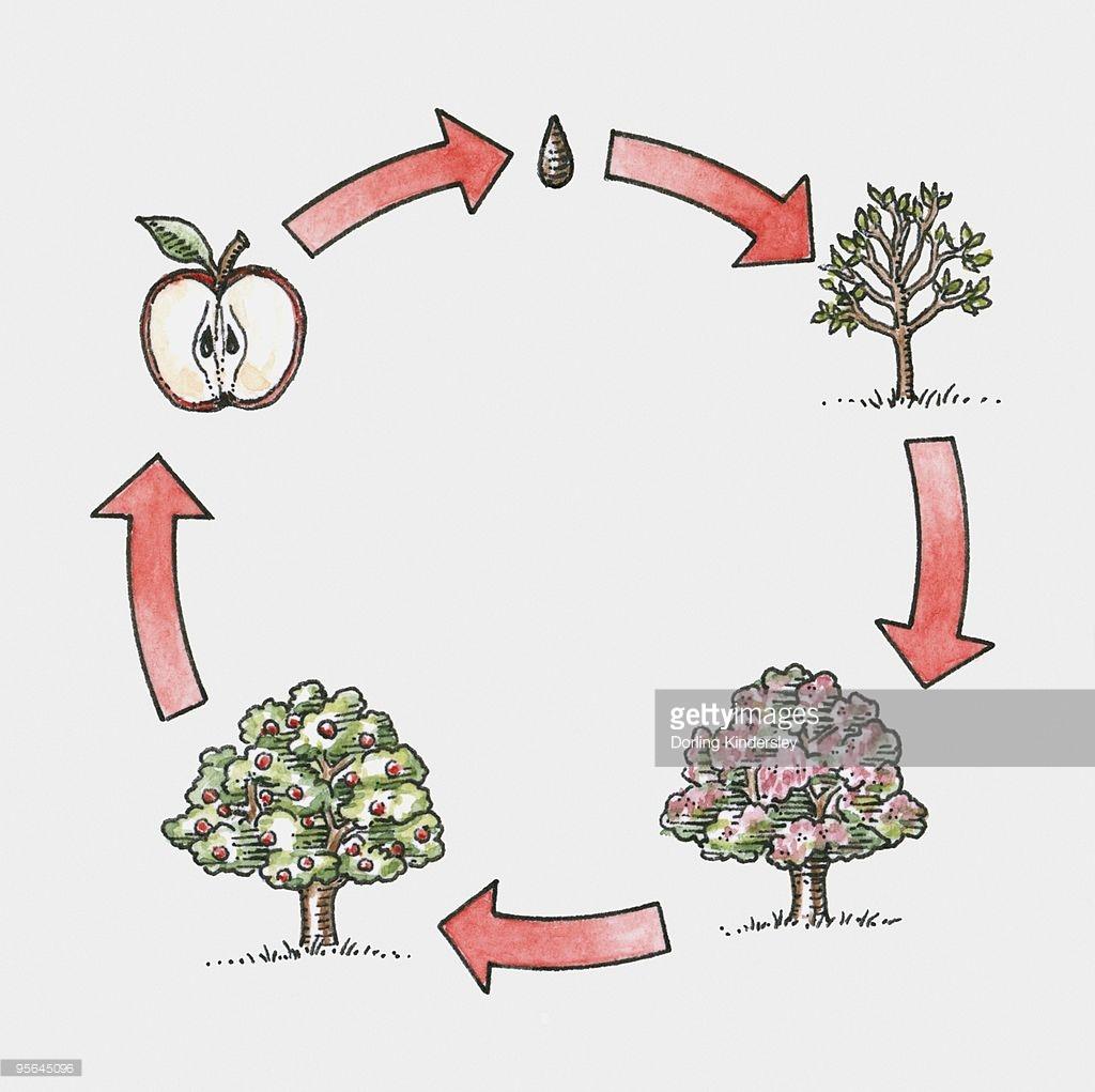 Apple Tree Life Cycle Worksheets