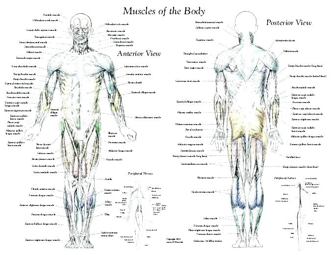 Muscle Man Worksheets