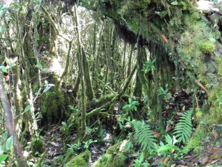 Bosque musgoso en las Cameron Highlands