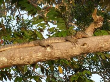 Lagarto descansando en árbol
