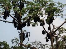 Murciélagos de la fruta