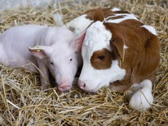 В Україні поменшало корів і свиней