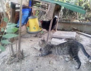 gatti nel pollaio