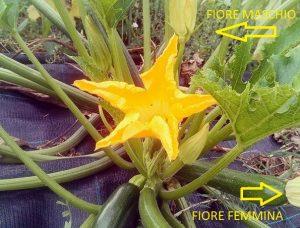 fiori zucchina maschio e femmina