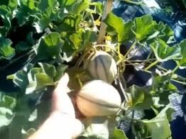 Uso della pollina nell'orto domestico su meloni