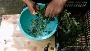 macerato di pomodori per la lotta agli afidi