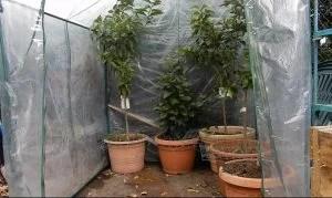 agrumi in serra per inverno 1