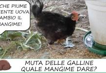 cambio MANGIME muta galline