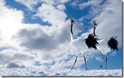 Japanese Cranes Cawing