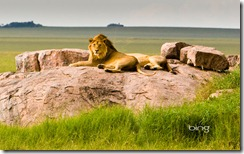 : Lions in Serengeti National Park, Tanzania