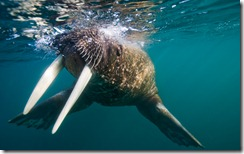 Walrus Swimming Under Surface of Water Near Tiholmane Island, Svalbard, Norway