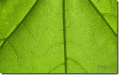 Leaf, backlit