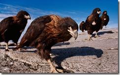 Striated Caracaras, Falkland Islands