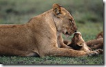 Lion cub playing with mother