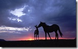 Mustang (Equus caballus) mare and foal silhouetted against the evening sky during summer, Montana, U.S.