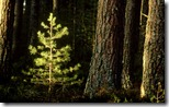 Scots Pine (Pinus sylvestris) sapling, Cairngorms National Park, Scotland, U.K.