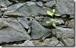 Sapling growing in stone wall