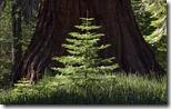 Redwood sapling at Yosemite National Park, California, U.S.