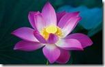Pink Lotus Flower - unpocogeek.com