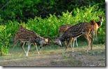 लड़ाई करते चीतल (Sparring Chitals), Bandipur National Park, Bandipur, Chamarajanagar district of southern Karnataka,India