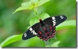 क्रिमसन रोज़ तितली  (Crimson Rose Butterfly), Bannerghatta National Park, Karnataka, India
