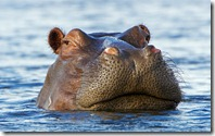 Hippo (Hippopotamus amphibius) peering out the water, Okavango Delta, Botswana