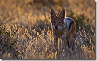 Black-backed Jackal (Canis mesomelas), Botswana